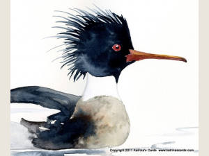 Red Breasted Merganser Note Card Gift Set